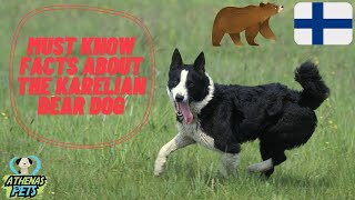 Getting to Know Your Dog's Breed: Karelian Bear Dog Edition