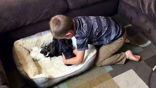 Royal Schnauzers  Little Boy Comforts Freshly Groomed Toy Miniature Schnauzer Puppies