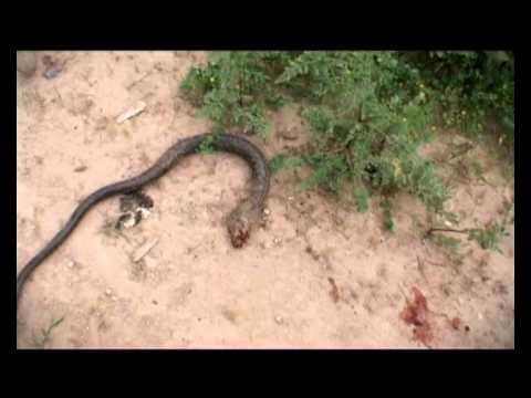 443 - Snake (Erez Miller - Trabelsi productions)