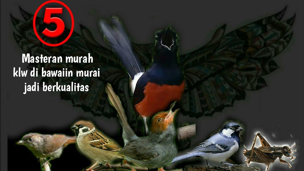 Masteran Burung2 Kecil Murah Jadikan Murai Batu Berkualitas Youtube