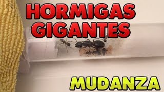 LAS HORMIGAS GIGANTES SE MUDAN AL HORMIGUERO ACRÍLICO | CAMPONOTUS HERCULEANUS