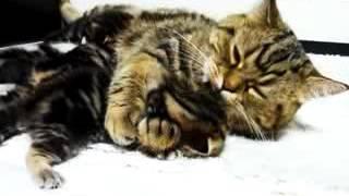 Cтерилизация кошки делать или не делать