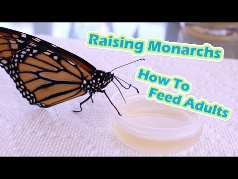 Raising Monarchs - How To Feed Adults (Help The Monarch Butterfly)