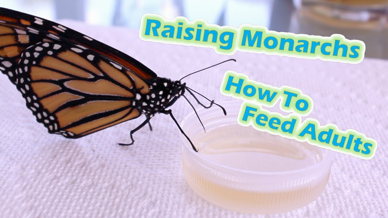 e9bca4562d41c Raising Monarchs - How To Feed Adults (Help The Monarch Butterfly ...