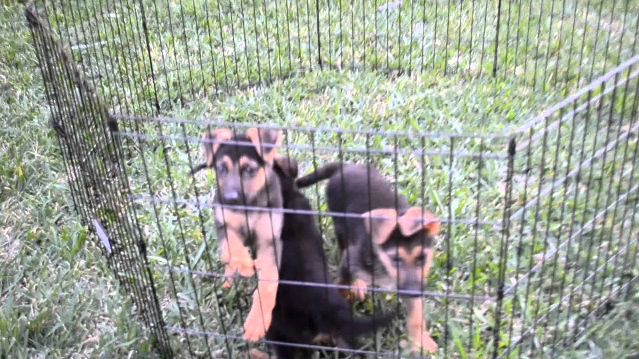 German shepherd for sale in miami