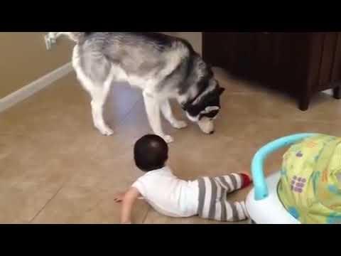 Siberain Husky Playing with Baby Brother