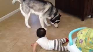 Siberain Husky Playing with Baby Brother