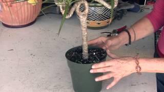 Dracaena Marginata Care Instructions : Great Gardening