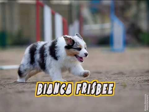 Australian shepherd BIANCA frisbee training