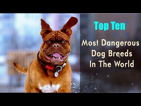 Top Ten Most Dangerous Dog Breeds In The World