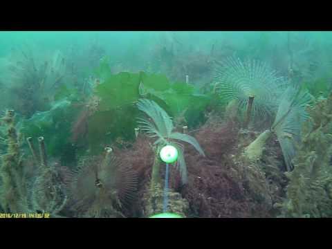 Peacock worms (Poole Harbour) Water Wolf UW1.0