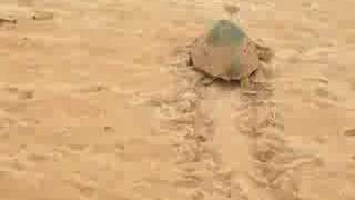 Sea Turtle laying her eggs