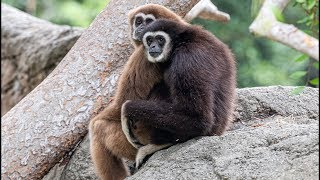 Gibbons return to Oakland Zoo at last