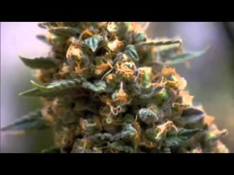 The Science of Marijuana   PBS Documentary