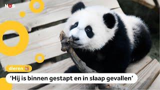 Daar is hij dan: het eerste Nederlandse pandajong