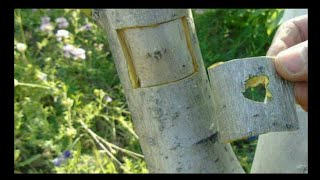 Application of patch vaccine to large trunk trees in walnut (walnut грецкий орех grafting)