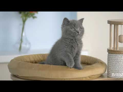 British kitten Ostap is 8 weeks old