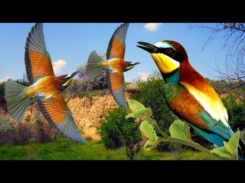 Bee eaters birds | Flight of the Bee-eater | Song birds