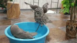 フクロウカフェの水浴びタイム! ウラルフクロウのバロンVSメンフクロウ...