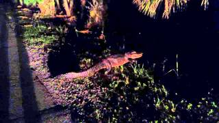 Gator In The Bushes Myakka David Barkasy