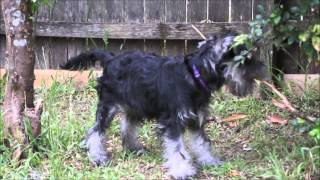 Schnauzer Puppy Sings Pearl Jam Spin The Black Circle