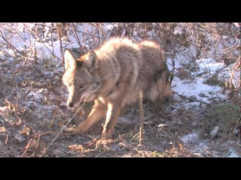 Missouri Cable Restraint Caught Coyote