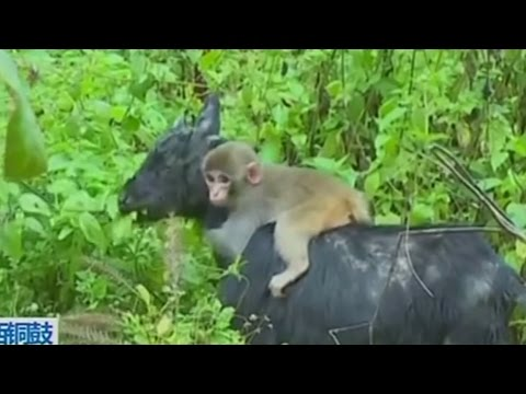 Baby monkey finds unlikely friendship with herd of goats