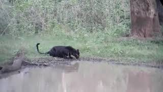 Black panther Chandrapur