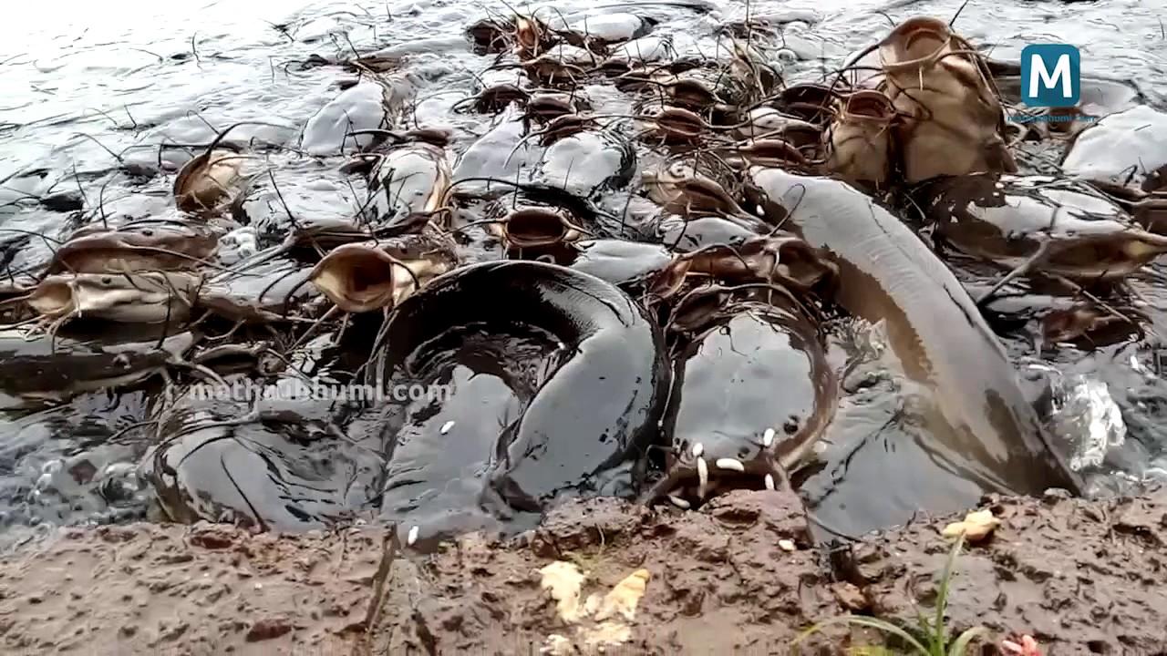 Muzhu fish in Thiruvachira Temple Pond