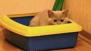 Как приучить котенка к лотку?совет опытных специалистов.