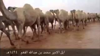 ربابه .. إبل الامير محمد بن عبدالله الفغم