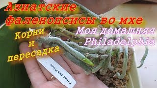Фаленопсисы из Азии во мхе. Корни и пересадка орхидей. Домашняя Филадельфия.