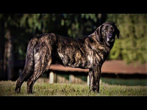 Cão de Castro Laboreiro - Série melhores cães de guarda do mundo