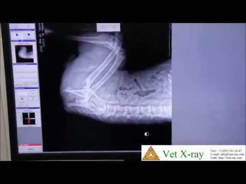 Рентгенография таза собаки аппаратом SYP-5 и НЦ-01 приемником
