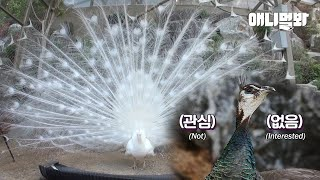 Peacock Thought His Wife Was Having An Affair  Left Home