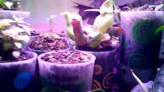 Update, Growing Carnivorous Plant Under Led Lights From August 8, 2013
