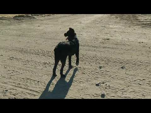 Giant Schnauzer VS Coyote