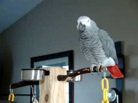 Larry The Parrot Dials An Imaginary Phone Number, Rambles A Little, Then Starts Laughing.