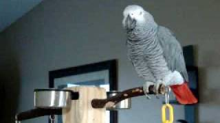 Larry the parrot dials an imaginary phone number, rambles a ...
