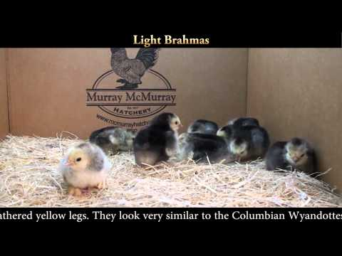 Light Brahma Chicks