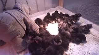 Цыплята от 0 до 30 дней.Пропойка.Содержание.
