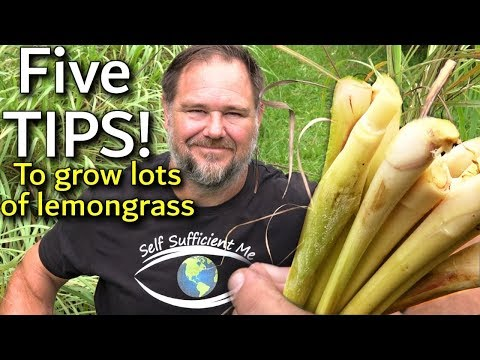 5 Tips How To Grow A Ton Of Lemongrass At Home