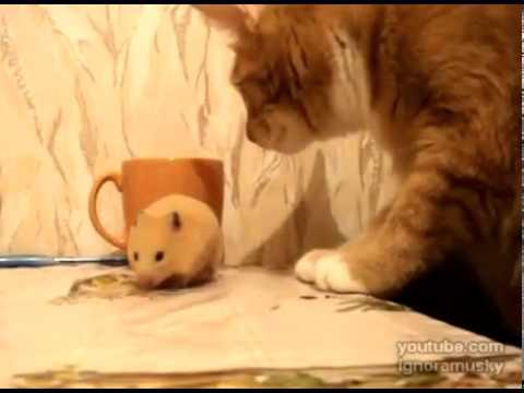 Кот и хомяк видео