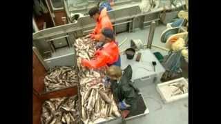Ostseefischerei - Arbeit und Methoden Schleswig-Holsteinischer Küstenfischer