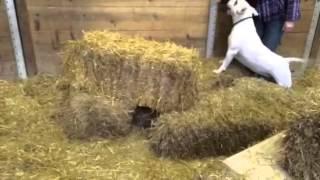 Barn Hunt Bull Terrier 4/1/14