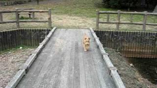 レイクランドテリアのルーク、オビの練習です。 とぼとぼ歩いてかわいい...