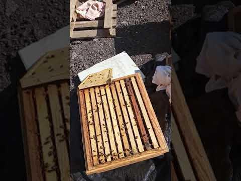 Albinele In 8 Martie.Azi Pun Foite La Crescut