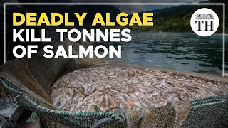 Deadly algae kill 4,200 tonnes of salmon in Chile