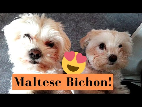 Maltese Bichon, an excellent dog breed and a great companion! Best moments compilation.