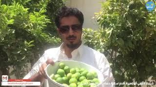 برنامج بيئتي بعيون عبيد العوني الحلقة (16) شجرة اللّومي أبو زهيرة أقدم سلالة حمضيات الليمون العربي